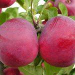 Яблоки сорта Весялина