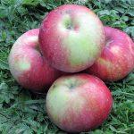Яблоки сорта Антей