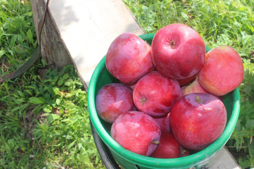 Яблоки сорта Коваленковское