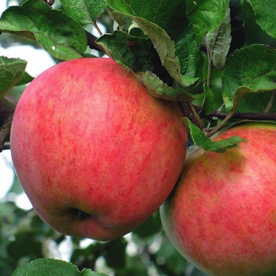 Яблоки сорта Дружба народов