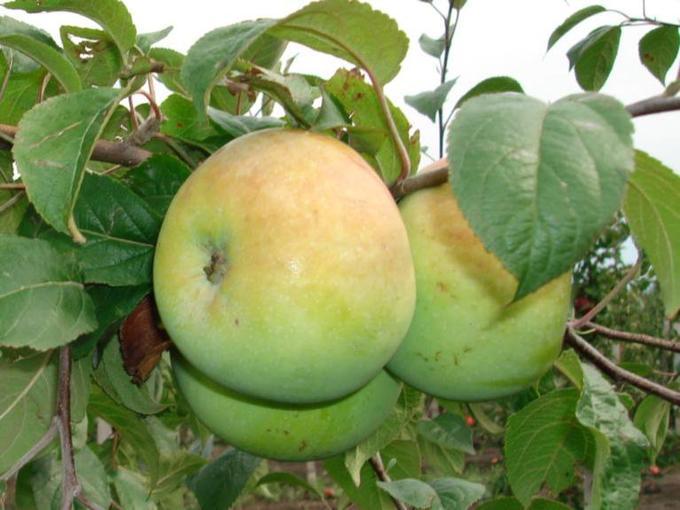 Яблоки сорта Исетское позднее