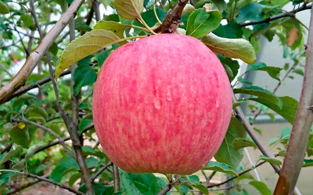 Яблоки сорта Зимнее полосатое