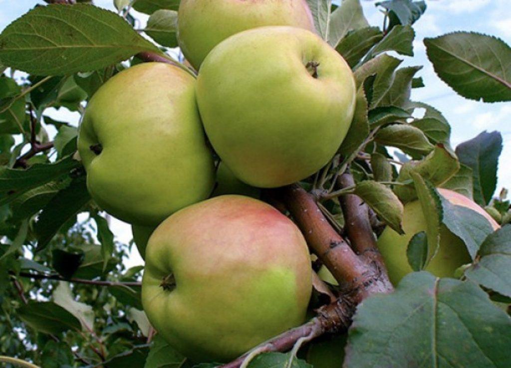 Яблоки сорта Братчуд