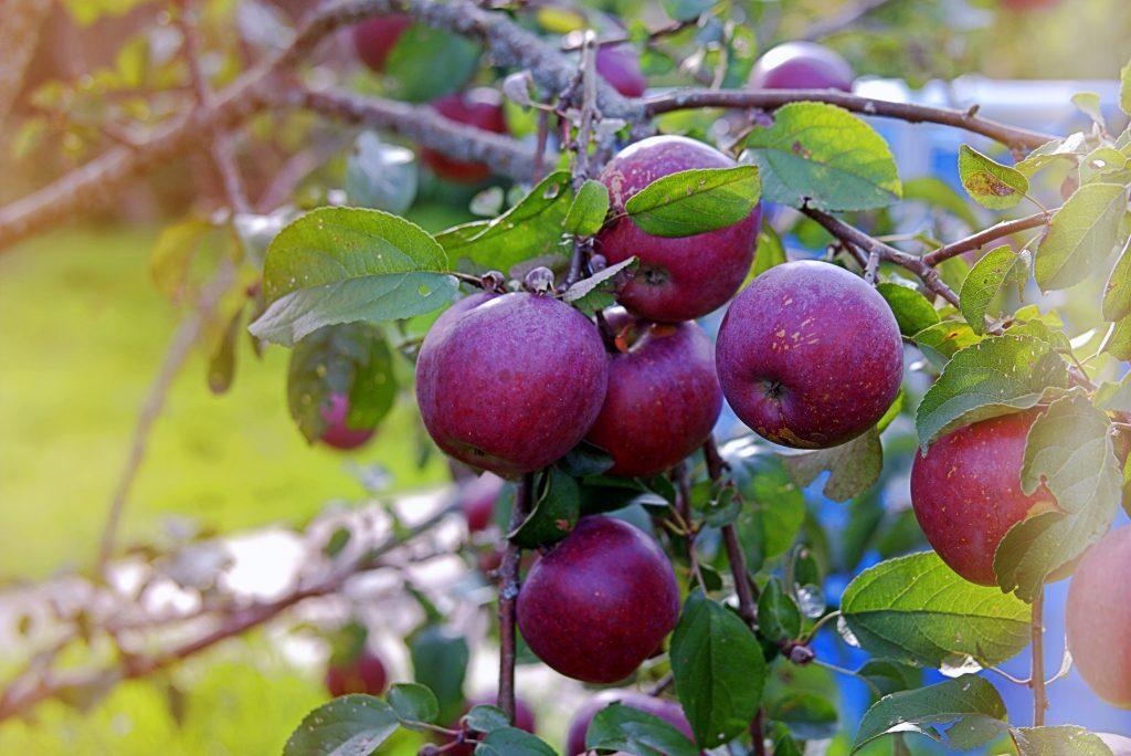 Яблоки сорта Лада