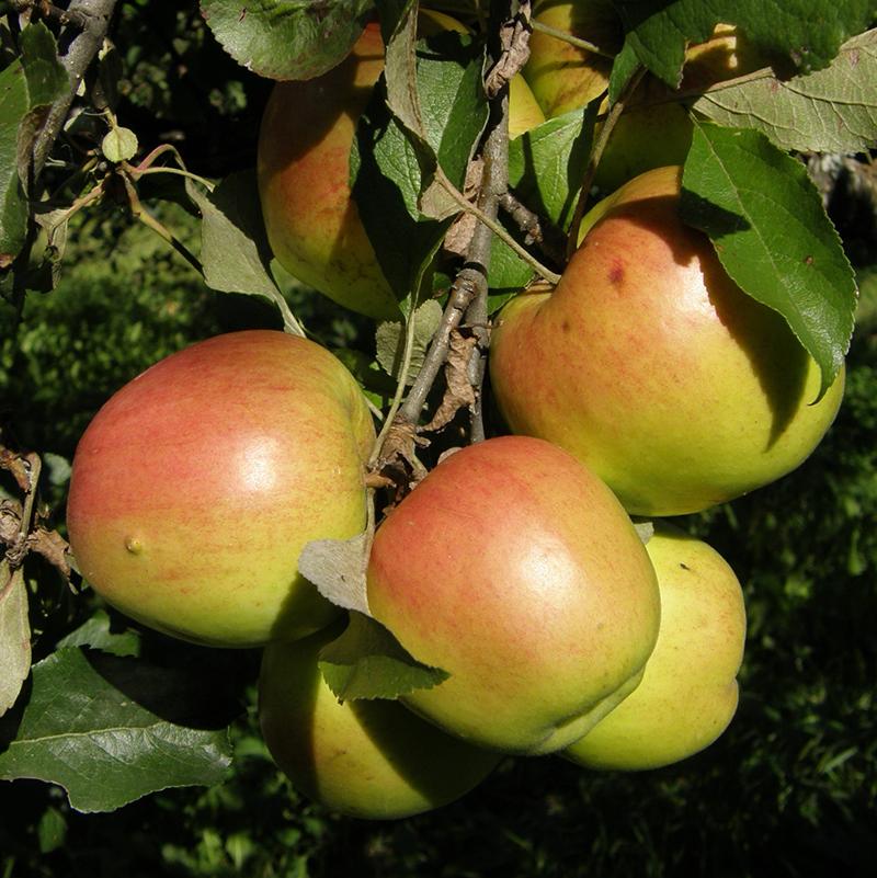 Яблоки сорта Дружное