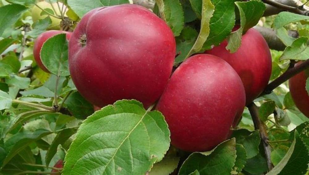 Яблоки сорта Веньяминовское