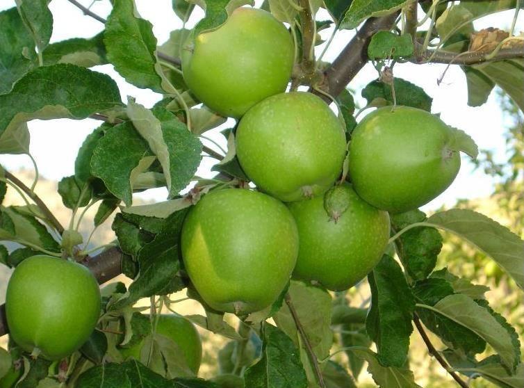 Яблоки сорта Грани Смит