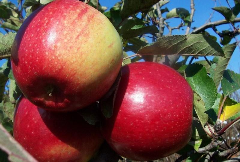 Яблоки сорта Лигол