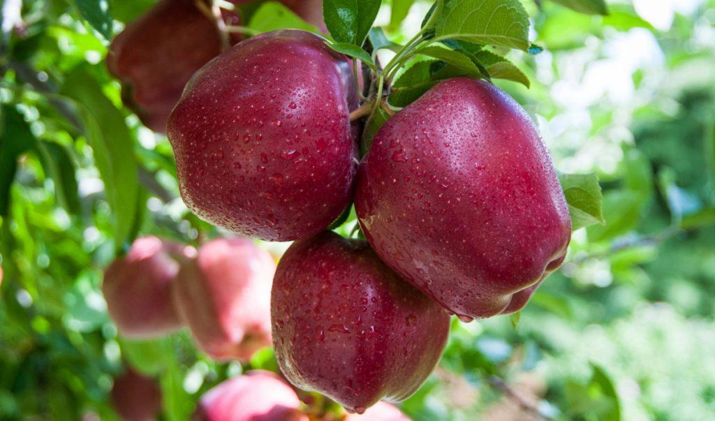 Яблоки сорта Ред Делишес