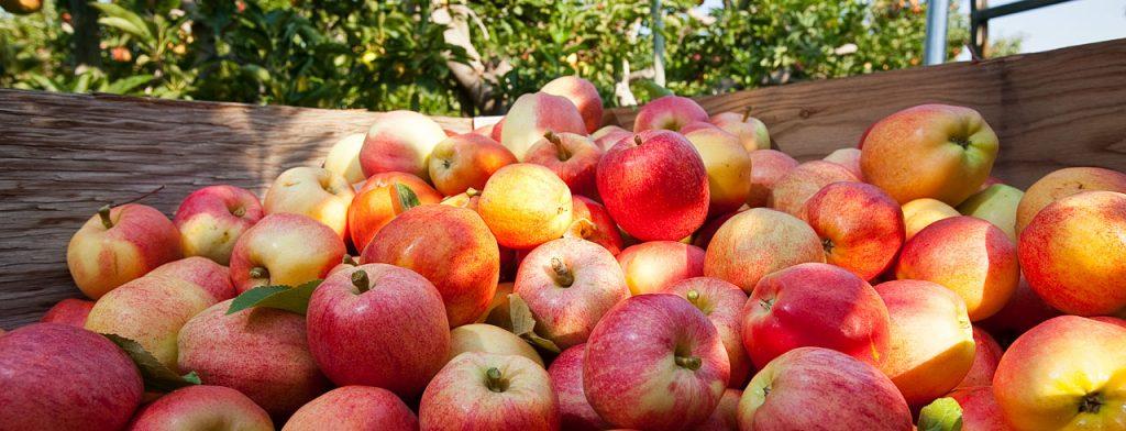 Яблоки средних размеров