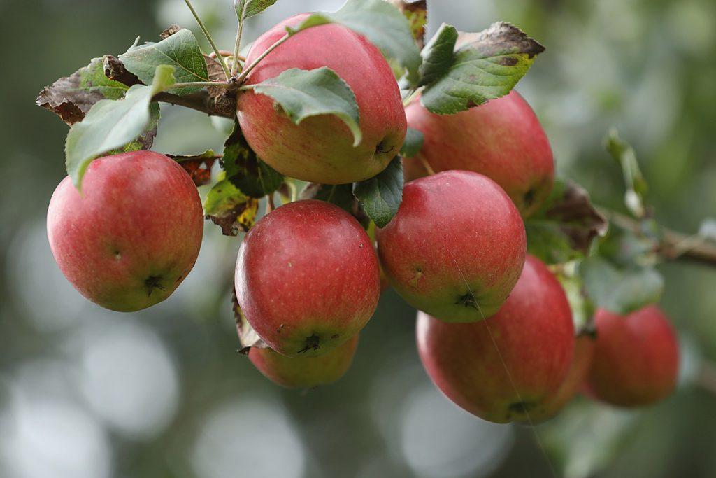 Некрупные яблоки