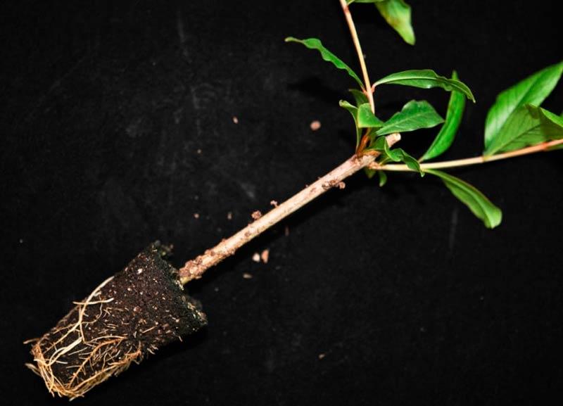 Деревце граната с земляным комом