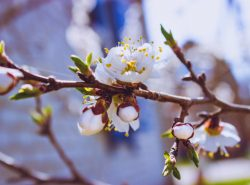 абрикос цветет