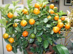 мандарин в домашних условиях