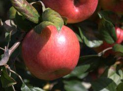 Яблоки сорта Хани Крисп