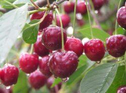 ветки вишни с ягодами