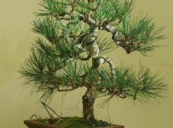 Выращивание любого дерева бонсай – это многолетний процесс кропотливого ухода за формирующимся растением
