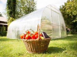 Выращивание овощей в теплице будет максимально эффективным, если соблюдать простые правила
