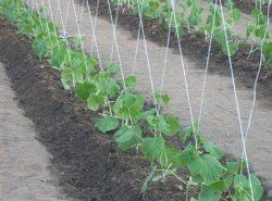 Практикуя выращивание огурцов в теплице, формирование куста следует проводить регулярно - это может повлиять не только на урожайность, но и на легкость ухода за культурой
