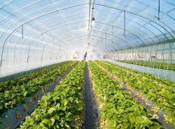 Большие теплицы предназначены для выращивания растительных культур на продажу