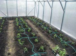 Выбирать частоту полива помидоров следует, исходя из выращиваемого сорта