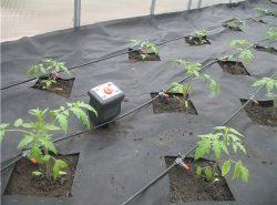 От правильного полива в теплице зависят рост и урожайность растений