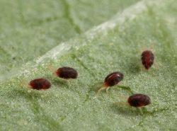 Начинать борьбу с паутинным клещом нужно при обнаружении первых особей