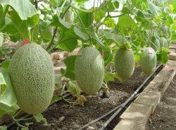Хорошо удобренный грунт, семена проверенных агрофирм помогут вырастить дыню и получить хороший урожай