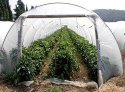Пленочные теплицы могут использоваться для выращивания овощей как для собственного употребления, так и на продажу