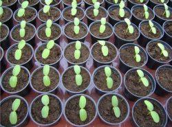 Сеять огурцы на рассаду семенами следует за 20 дней до ее высадки в теплицу