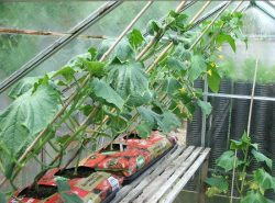 Высаживать огурцы можно в любую теплицу вне зависимости от материалов, из которых она изготовлена