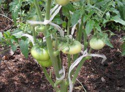 Выполнив правильно формирование куста помидоров, можно существенно повысить его урожайность