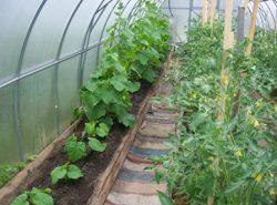 Сажать вместе с огурцами в теплице можно разные растения