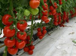 Какие сорта помидор самые урожайные для теплиц, знает не каждый