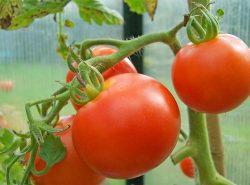 В тепличных условиях возможно ускорить созревание помидор