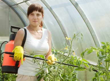 Опрыскивание помидоров в теплице способствует росту кустов томатов