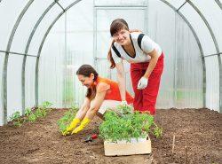 Огородник должен самостоятельно определить когда высаживать рассаду в теплицу