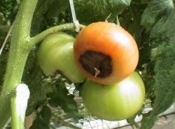 Болезни томатов вызываны вирусными и грибковыми возбудителями
