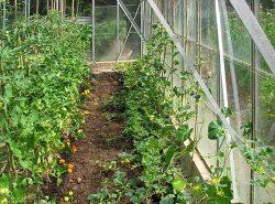 Посадка растений в теплице включает ряд мероприятий, которые позволяют правильно подготовить теплицу и ухаживать за культурами