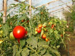 Сорта низкорослых томатов для теплиц необходимо выбирать правильно