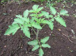 Когда высаживать помидоры в теплицу – вопрос, интересующий огородников