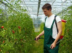 Обработка томатов в теплице – очень важный этап выращивания растений