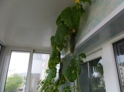 Вырастить огурцы на балконе вполне реально