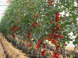 Индетерминантные сорта томатов для теплиц – оптимальный вариант для выращивания помидоров в парниковых условиях