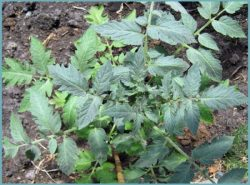 Помидоры жируют в теплице – эта проблема может настигнуть практически любого огородника или садовода