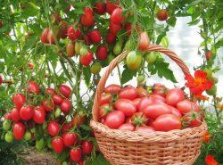 Температура для помидор в теплице – тот фактор, от которого зависят условия роста и развития томатов
