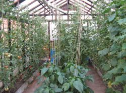 Высаживая овощи в одной теплице, их необходимо правильно расположить