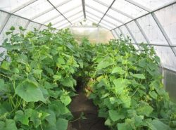 Открывать теплицу с огурцами или нет - вопрос, интересующий многих огородников