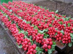 Выращивать редис в теплице довольно просто