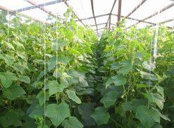 Выполнив правильно формирование огурцов в теплице, можно существенно улучшить качество урожая